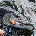 Musky Lure 52 inch fishing