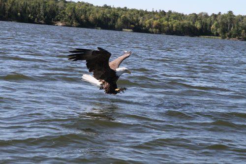 Eaglecatch