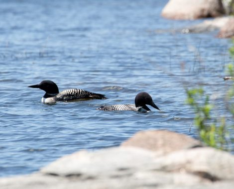 Lake of the Woods New Moon Lodge Loons